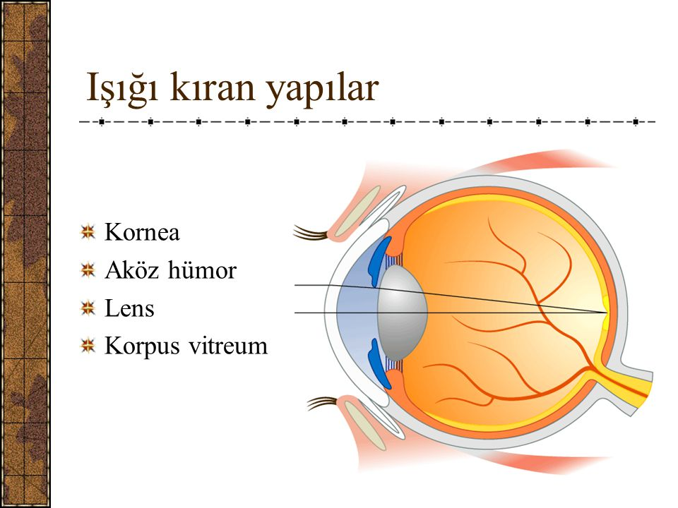 Işığı kıran yapılar Kornea Aköz hümor Lens Korpus vitreum