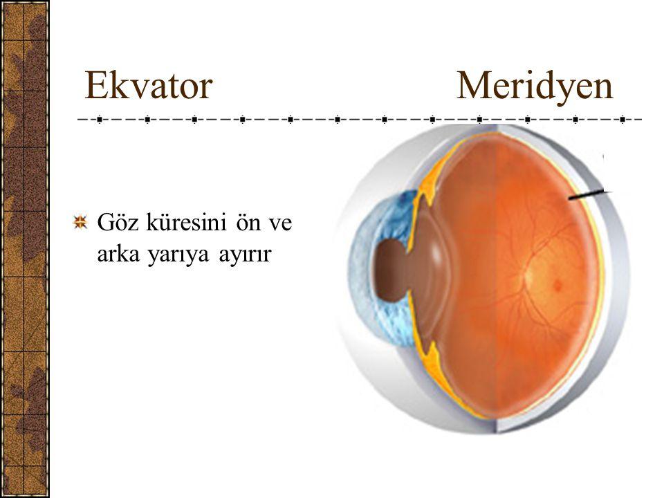 Göz küresinin tabakaları: I.Tunica fibrosa (externa) bulbi II.Tunica vaskulosa (media) bulbi (tractus uvealis) III.Tunica interna bulbi (sensoria nervosa)