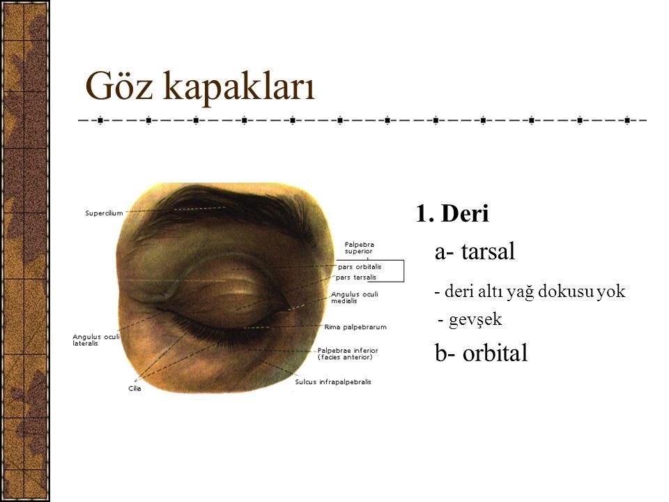 Göz kapakları 1. Deri a- tarsal - deri altı yağ dokusu yok - gevşek b- orbital