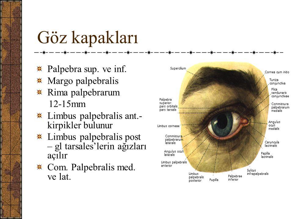Göz kapakları Palpebra sup.ve inf.