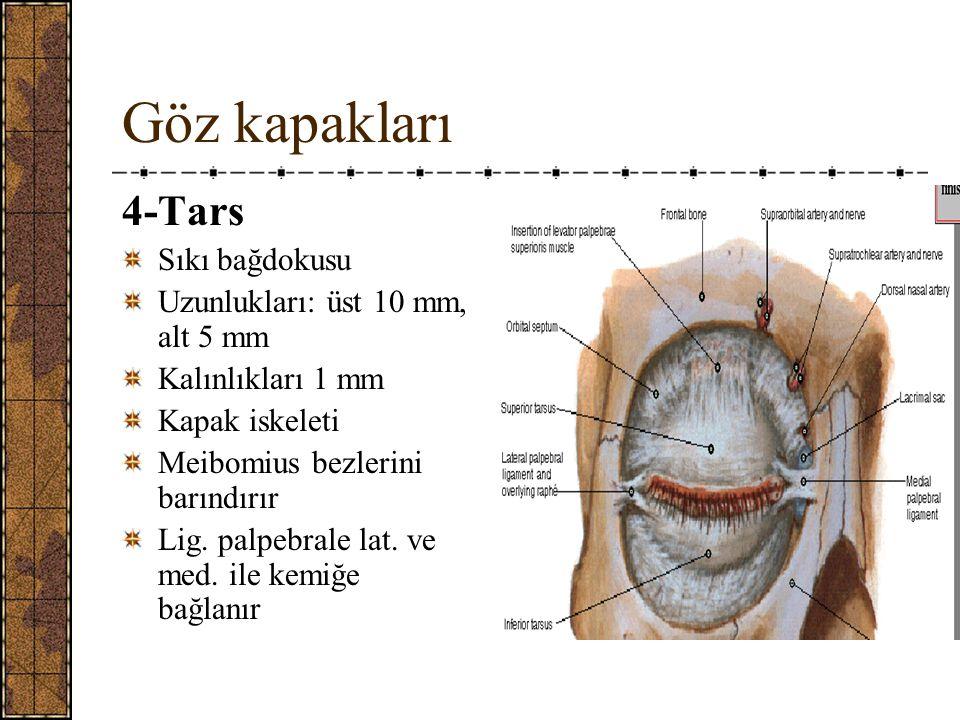 Göz kapakları 4-Tars Sıkı bağdokusu Uzunlukları: üst 10 mm, alt 5 mm Kalınlıkları 1 mm Kapak iskeleti Meibomius bezlerini barındırır Lig.