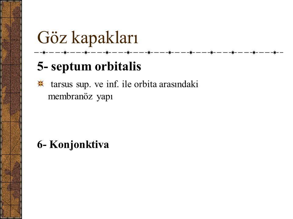Göz kapakları 5- septum orbitalis tarsus sup.ve inf.