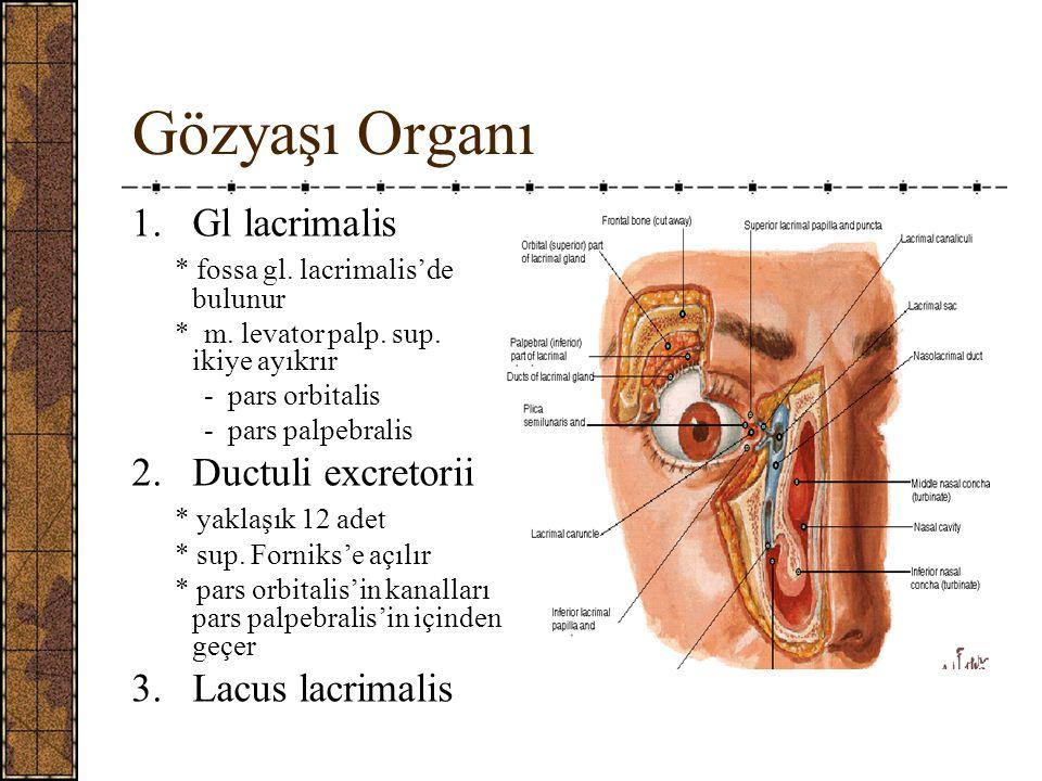 Gözyaşı Organı 1.Gl lacrimalis * fossa gl.lacrimalis'de bulunur * m.