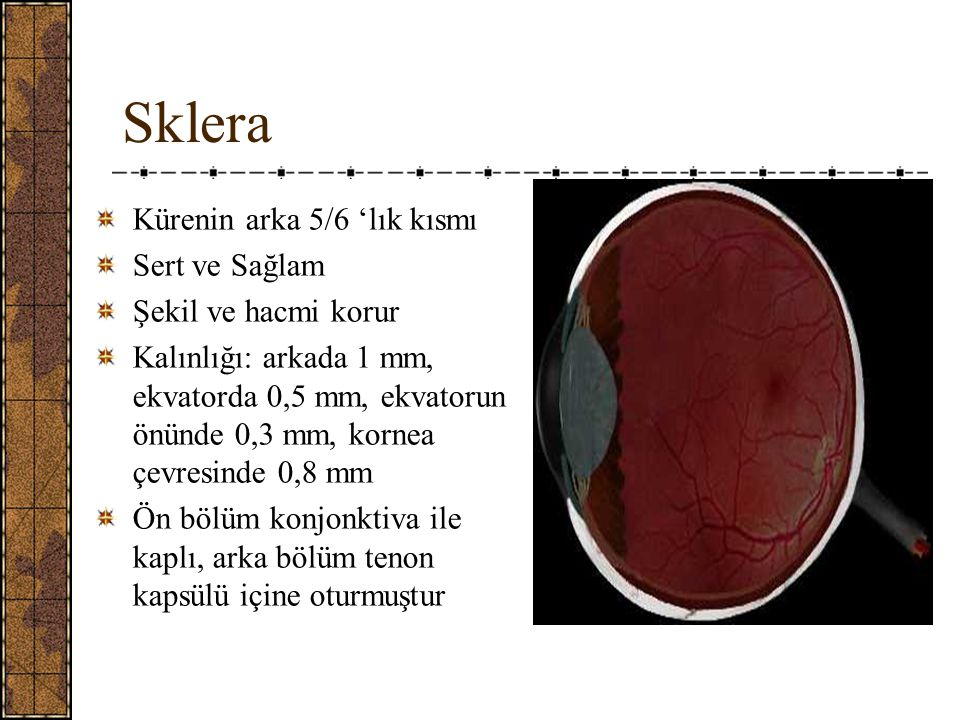 Sklera Lamina cribrosa sklera Arka yüzde elek şeklinde küçük delikler Skleranın en zayıf yeri - N.