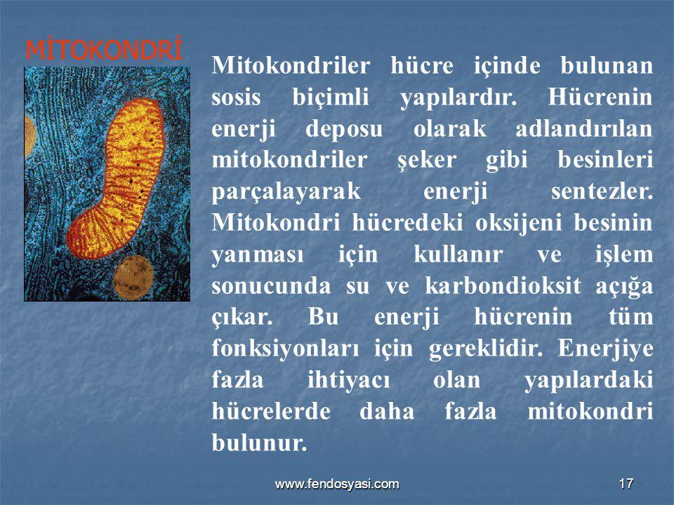 www.fendosyasi.com17 Mitokondriler hücre içinde bulunan sosis biçimli yapılardır. Hücrenin enerji deposu olarak adlandırılan mitokondriler şeker gibi