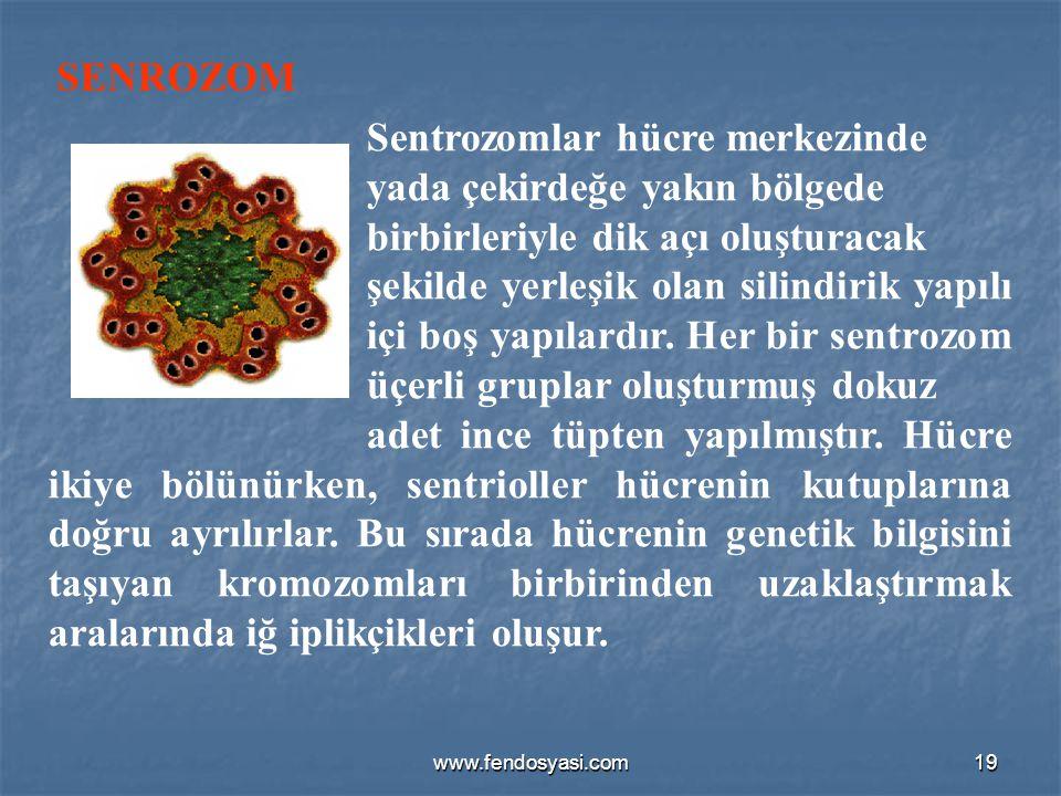 www.fendosyasi.com19 Sentrozomlar hücre merkezinde yada çekirdeğe yakın bölgede birbirleriyle dik açı oluşturacak şekilde yerleşik olan silindirik yap
