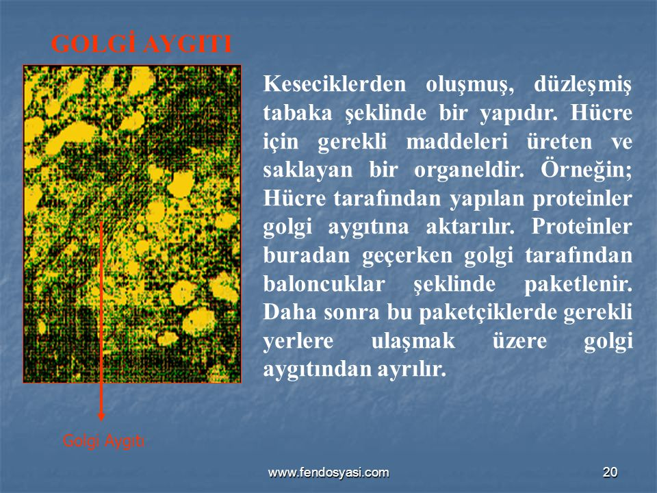 www.fendosyasi.com20 GOLGİ AYGITI Golgi Aygıtı Keseciklerden oluşmuş, düzleşmiş tabaka şeklinde bir yapıdır. Hücre için gerekli maddeleri üreten ve sa