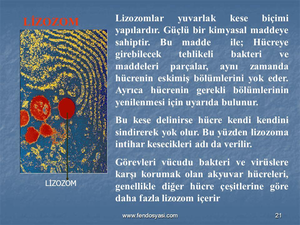 www.fendosyasi.com21 LİZOZOM Lizozomlar yuvarlak kese biçimi yapılardır. Güçlü bir kimyasal maddeye sahiptir. Bu madde ile; Hücreye girebilecek tehlik