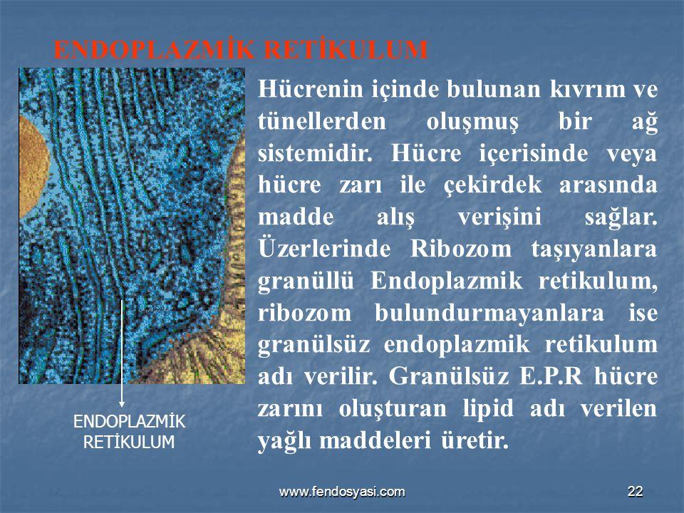 www.fendosyasi.com22 ENDOPLAZMİK RETİKULUM Hücrenin içinde bulunan kıvrım ve tünellerden oluşmuş bir ağ sistemidir. Hücre içerisinde veya hücre zarı i