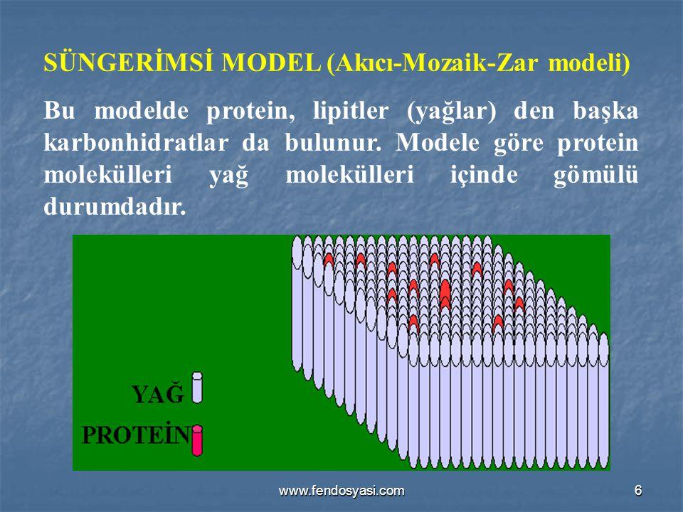 www.fendosyasi.com6 SÜNGERİMSİ MODEL (Akıcı-Mozaik-Zar modeli) Bu modelde protein, lipitler (yağlar) den başka karbonhidratlar da bulunur. Modele göre
