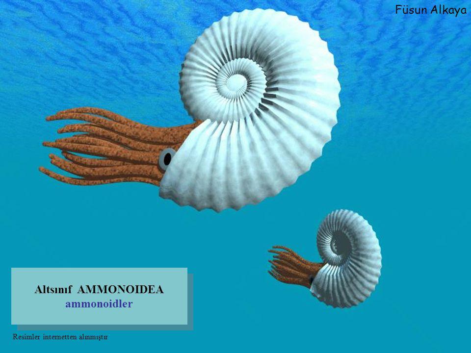 Altsınıf AMMONOIDEA ammonoidler Füsun Alkaya Resimler internetten alınmıştır