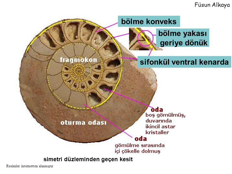 simetri düzleminden geçen kesit bölme konveks bölme yakası geriye dönük sifonkül ventral kenarda Füsun Alkaya Resimler internetten alınmıştır