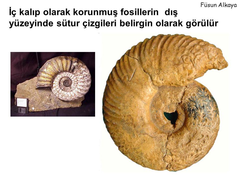 İç kalıp olarak korunmuş fosillerin dış yüzeyinde sütur çizgileri belirgin olarak görülür Füsun Alkaya