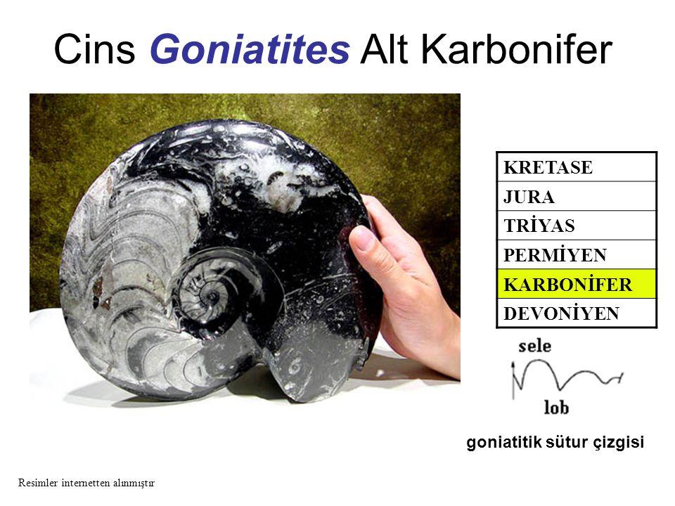 Cins Goniatites Alt Karbonifer KRETASE JURA TRİYAS PERMİYEN KARBONİFER DEVONİYEN goniatitik sütur çizgisi Resimler internetten alınmıştır