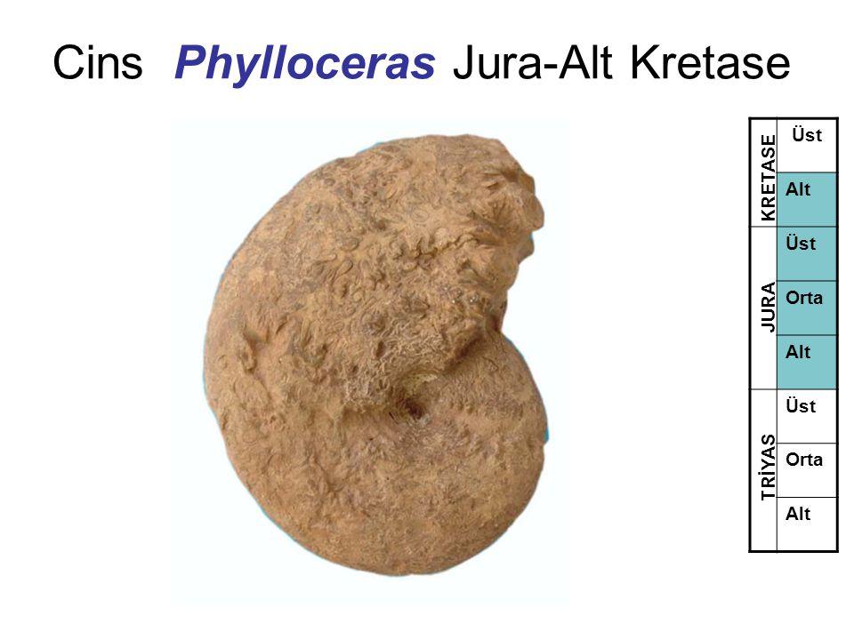 Cins Phylloceras Jura-Alt Kretase Üst Alt Üst Orta Alt Üst Orta Alt TRİYAS JURA KRETASE