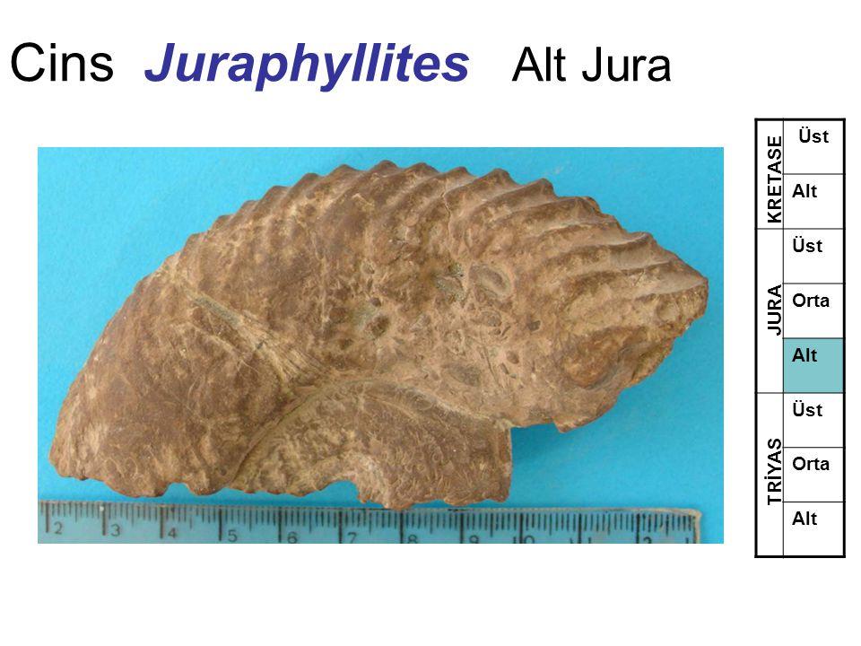 Cins Juraphyllites Alt Jura Üst Alt Üst Orta Alt Üst Orta Alt TRİYAS JURA KRETASE