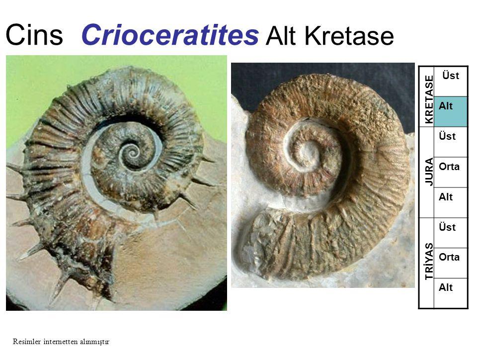 Cins Crioceratites Alt Kretase Üst Alt Üst Orta Alt Üst Orta Alt TRİYAS JURA KRETASE Resimler internetten alınmıştır