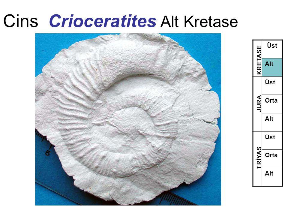 Cins Crioceratites Alt Kretase Üst Alt Üst Orta Alt Üst Orta Alt TRİYAS JURA KRETASE