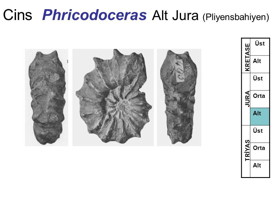 Cins Phricodoceras Alt Jura (Pliyensbahiyen) Üst Alt Üst Orta Alt Üst Orta Alt TRİYAS JURA KRETASE