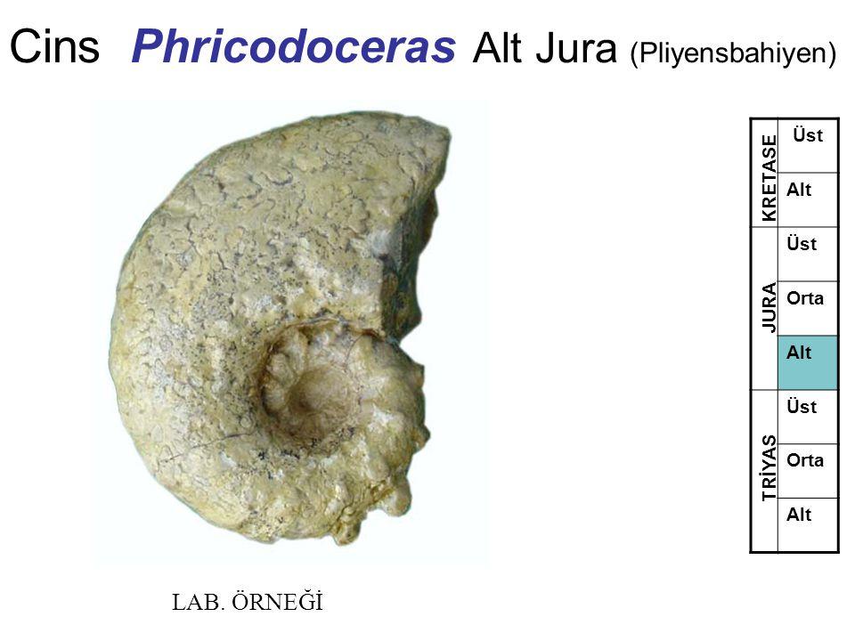 Cins Phricodoceras Alt Jura (Pliyensbahiyen) Üst Alt Üst Orta Alt Üst Orta Alt TRİYAS JURA KRETASE LAB. ÖRNEĞİ