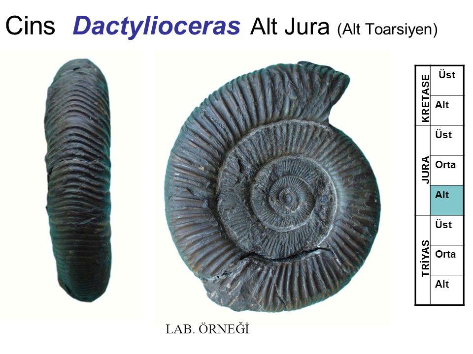 Cins Dactylioceras Alt Jura (Alt Toarsiyen) Üst Alt Üst Orta Alt Üst Orta Alt TRİYAS JURA KRETASE LAB. ÖRNEĞİ
