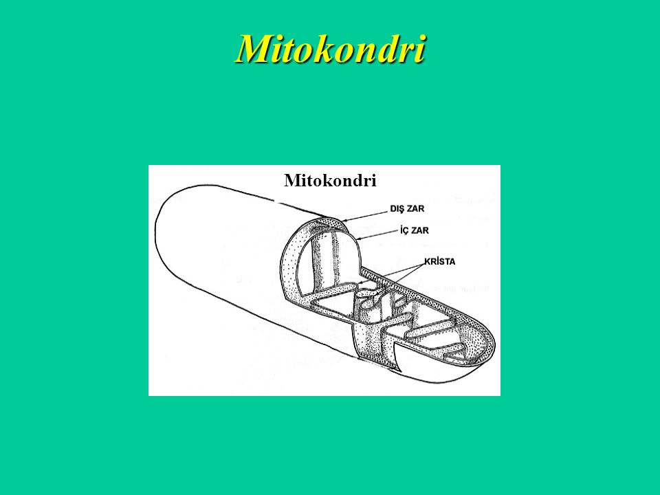 Mitokondri Mitokondri
