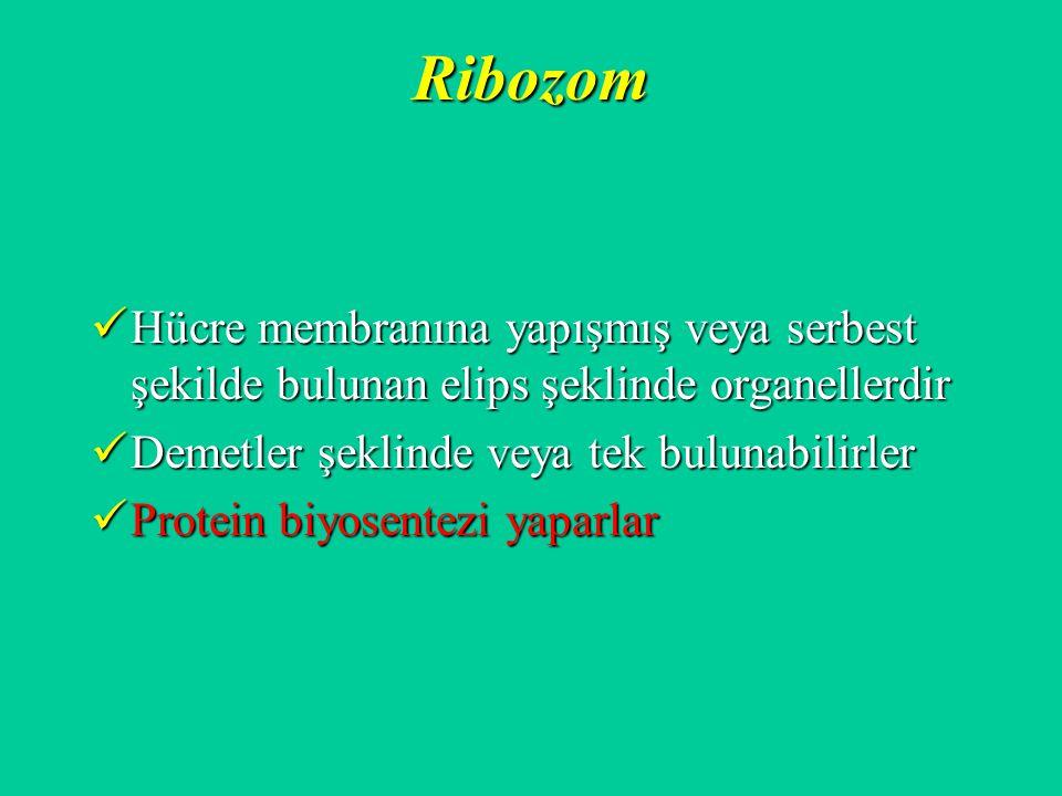 Ribozom Hücre membranına yapışmış veya serbest şekilde bulunan elips şeklinde organellerdir Hücre membranına yapışmış veya serbest şekilde bulunan eli