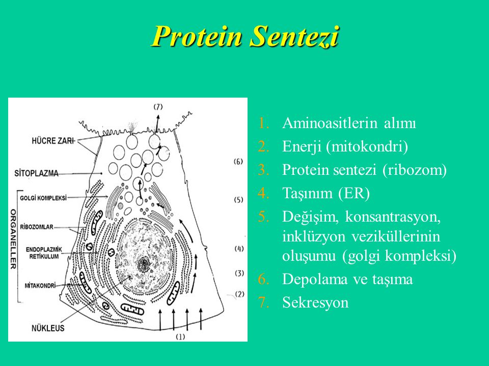 Protein Sentezi 1.Aminoasitlerin alımı 2.Enerji (mitokondri) 3.Protein sentezi (ribozom) 4.Taşınım (ER) 5.Değişim, konsantrasyon, inklüzyon veziküller