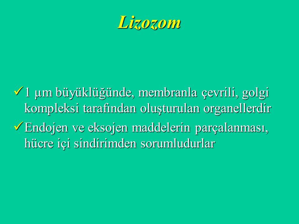 Lizozom 1 µm büyüklüğünde, membranla çevrili, golgi kompleksi tarafından oluşturulan organellerdir 1 µm büyüklüğünde, membranla çevrili, golgi komplek