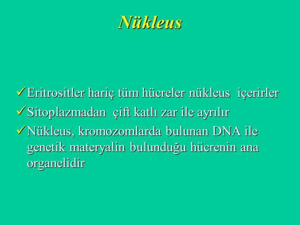 Nükleus Eritrositler hariç tüm hücreler nükleus içerirler Eritrositler hariç tüm hücreler nükleus içerirler Sitoplazmadan çift katlı zar ile ayrılır S