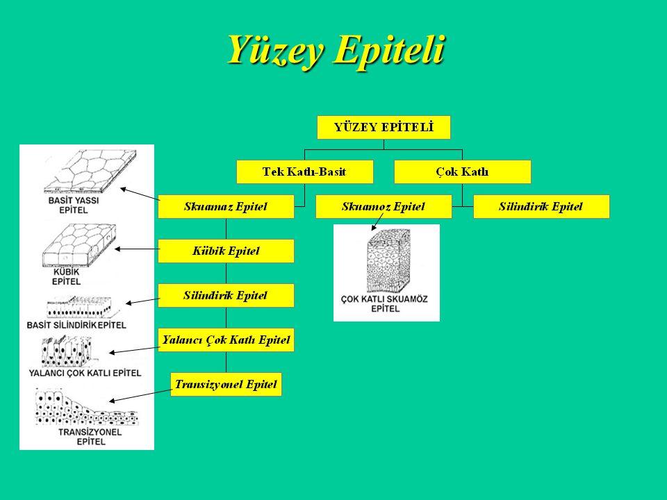 Yüzey Epiteli