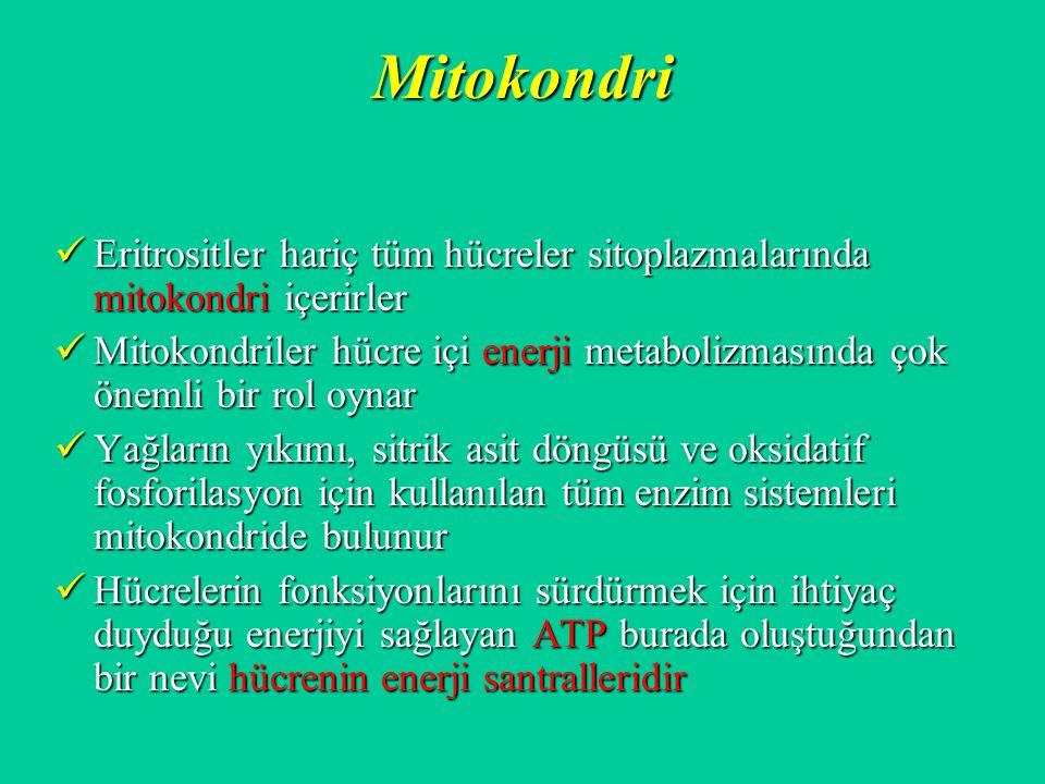 Mitokondri Eritrositler hariç tüm hücreler sitoplazmalarında mitokondri içerirler Eritrositler hariç tüm hücreler sitoplazmalarında mitokondri içerirl