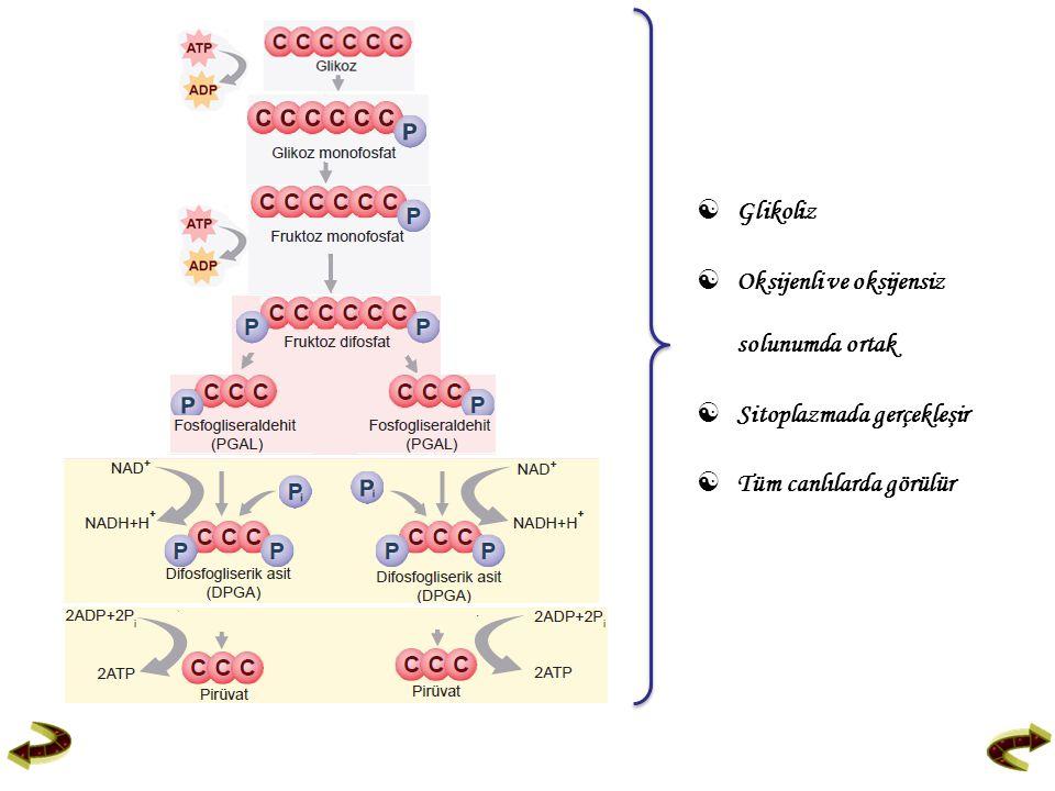 Glikoliz  Oksijenli ve oksijensiz solunumda ortak  Sitoplazmada gerçekleşir  Tüm canlılarda görülür