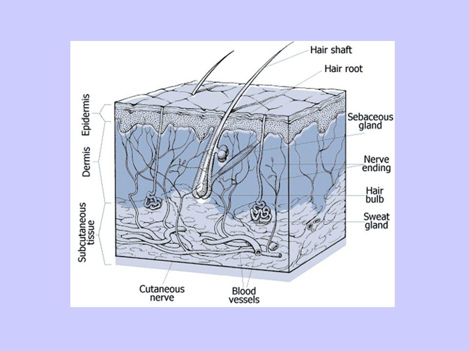 3-İç kulak Tulumcuk ve kesecik(içinde denge sağlayan otolit kristalleri,almaçlar bulunur.) bulunur Yarım daire kanalları(denge sağlar) Salyangoz(kohlea):üç kanaldan oluşur; a)Vestibular kanal oval pencereye bağlıdır.Perilenf sıvısı bulundurur.