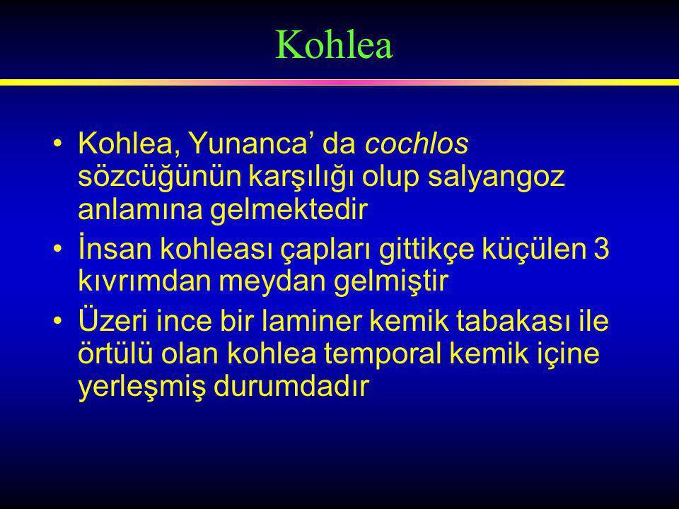 Kohlea, Yunanca' da cochlos sözcüğünün karşılığı olup salyangoz anlamına gelmektedir İnsan kohleası çapları gittikçe küçülen 3 kıvrımdan meydan gelmiştir Üzeri ince bir laminer kemik tabakası ile örtülü olan kohlea temporal kemik içine yerleşmiş durumdadır Kohlea