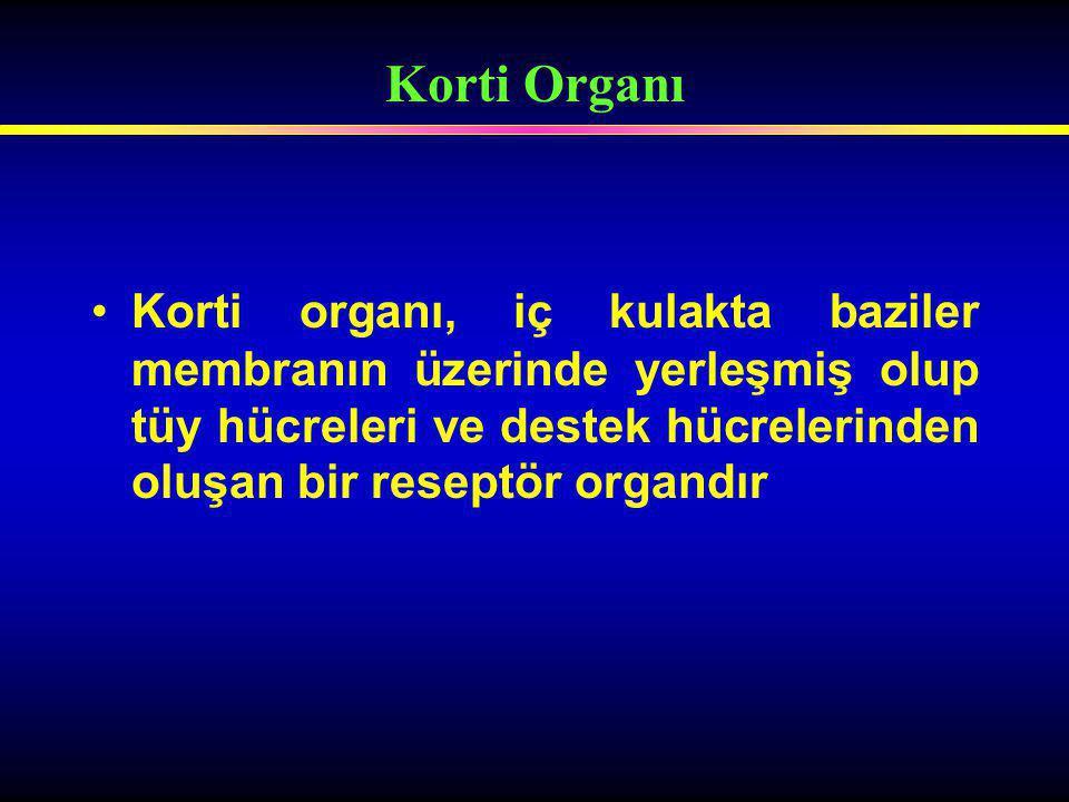 Korti organı, iç kulakta baziler membranın üzerinde yerleşmiş olup tüy hücreleri ve destek hücrelerinden oluşan bir reseptör organdır Korti Organı