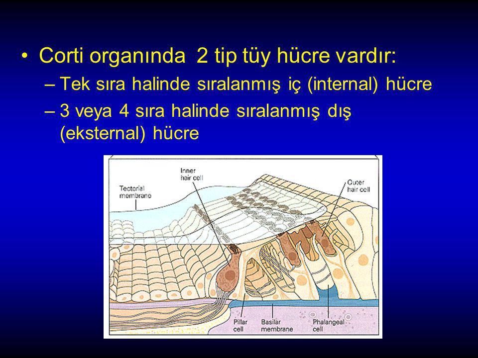 Corti organında 2 tip tüy hücre vardır: –Tek sıra halinde sıralanmış iç (internal) hücre –3 veya 4 sıra halinde sıralanmış dış (eksternal) hücre