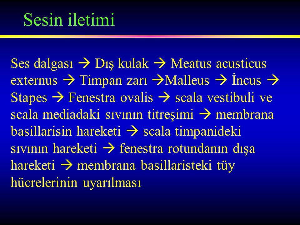 Sesin iletimi Ses dalgası  Dış kulak  Meatus acusticus externus  Timpan zarı  Malleus  İncus  Stapes  Fenestra ovalis  scala vestibuli ve scala mediadaki sıvının titreşimi  membrana basillarisin hareketi  scala timpanideki sıvının hareketi  fenestra rotundanın dışa hareketi  membrana basillaristeki tüy hücrelerinin uyarılması