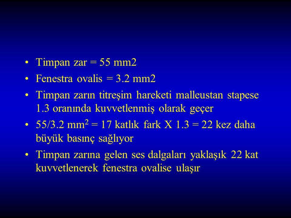 Timpan zar = 55 mm2 Fenestra ovalis = 3.2 mm2 Timpan zarın titreşim hareketi malleustan stapese 1.3 oranında kuvvetlenmiş olarak geçer 55/3.2 mm 2 = 17 katlık fark X 1.3 = 22 kez daha büyük basınç sağlıyor Timpan zarına gelen ses dalgaları yaklaşık 22 kat kuvvetlenerek fenestra ovalise ulaşır