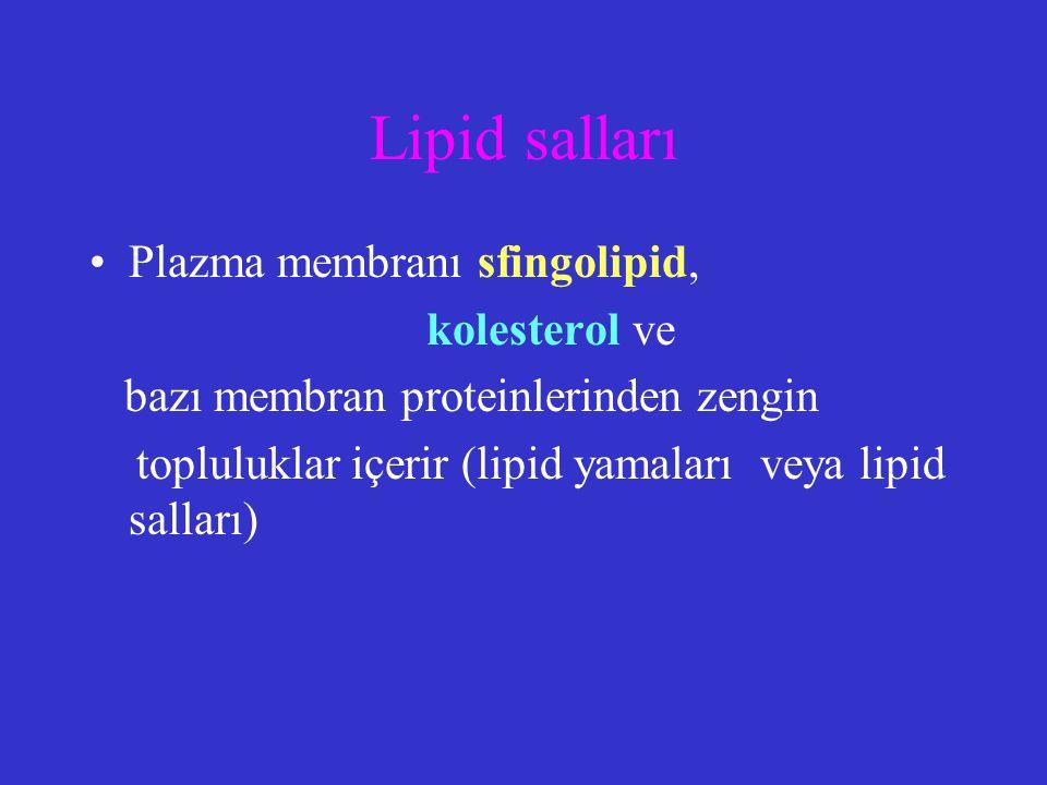 Lipid salları Plazma membranı sfingolipid, kolesterol ve bazı membran proteinlerinden zengin topluluklar içerir (lipid yamaları veya lipid salları)