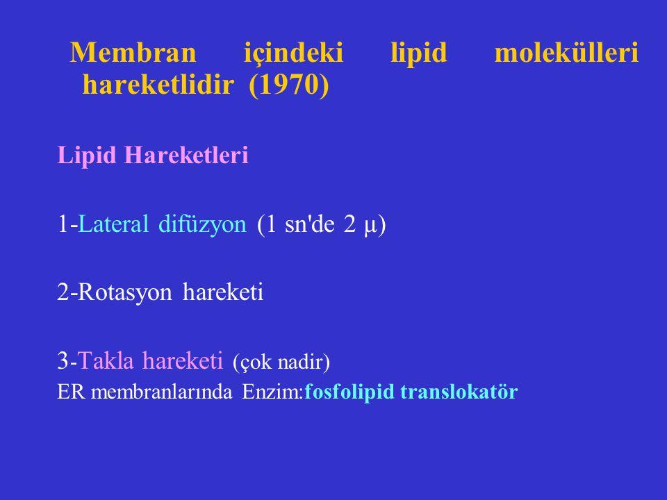 Membran içindeki lipid molekülleri hareketlidir (1970) Lipid Hareketleri 1-Lateral difüzyon (1 sn'de 2 µ) 2-Rotasyon hareketi 3 - Takla hareketi (çok