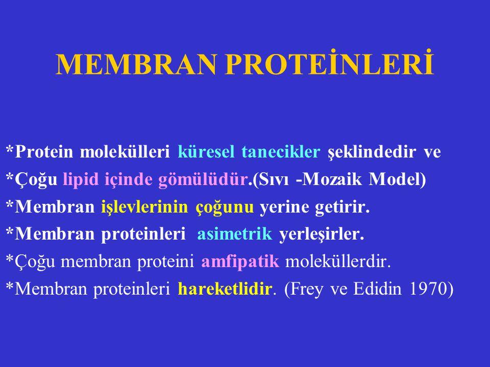 MEMBRAN PROTEİNLERİ *Protein molekülleri küresel tanecikler şeklindedir ve *Çoğu lipid içinde gömülüdür.(Sıvı -Mozaik Model) *Membran işlevlerinin çoğ