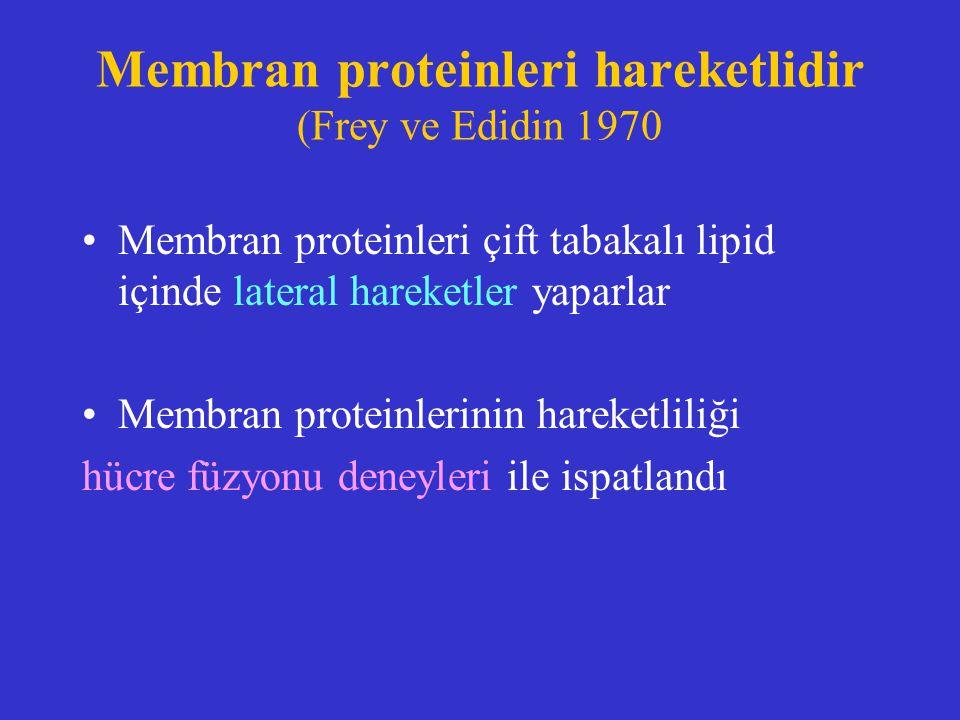 Membran proteinleri hareketlidir (Frey ve Edidin 1970 Membran proteinleri çift tabakalı lipid içinde lateral hareketler yaparlar Membran proteinlerini