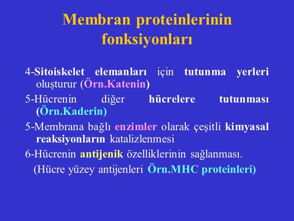 Membran proteinlerinin fonksiyonları 4-Sitoiskelet elemanları için tutunma yerleri oluşturur (Örn.Katenin) 5-Hücrenin diğer hücrelere tutunması (Örn.K