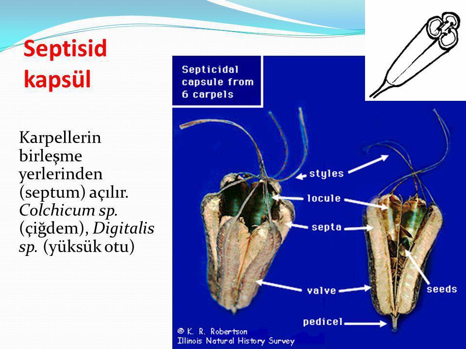 Septisid kapsül Karpellerin birleşme yerlerinden (septum) açılır. Colchicum sp. (çiğdem), Digitalis sp. (yüksük otu)