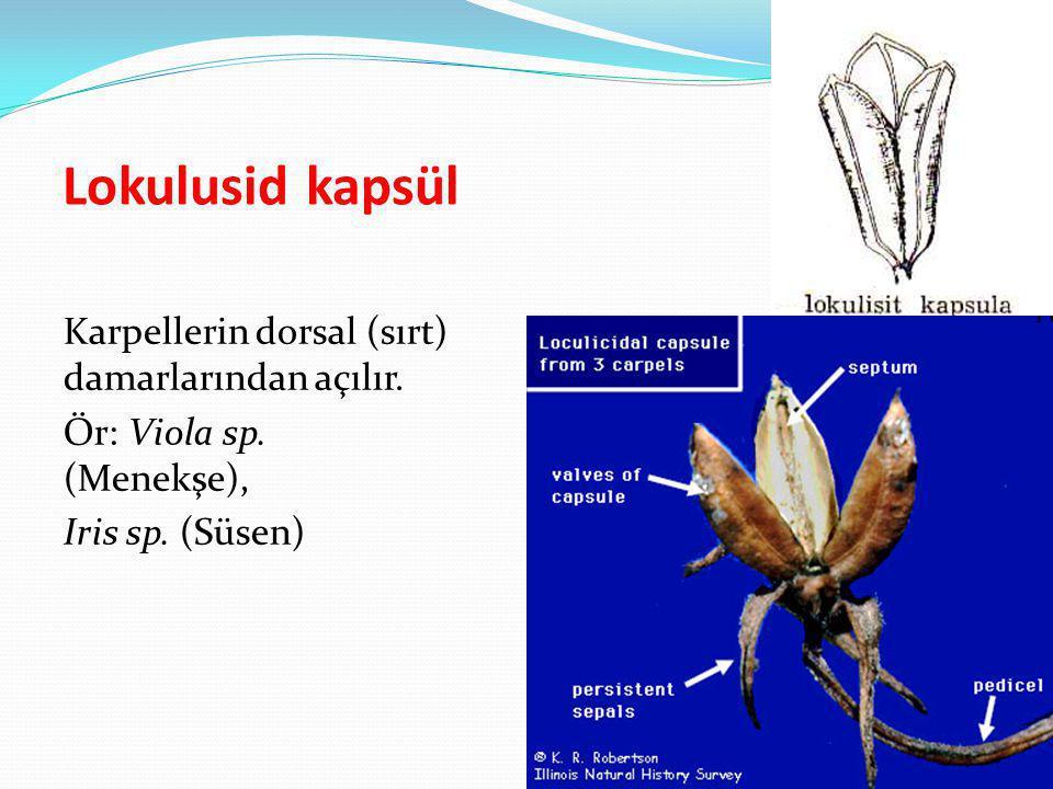 Lokulusid kapsül Karpellerin dorsal (sırt) damarlarından açılır. Ör: Viola sp. (Menekşe), Iris sp. (Süsen)