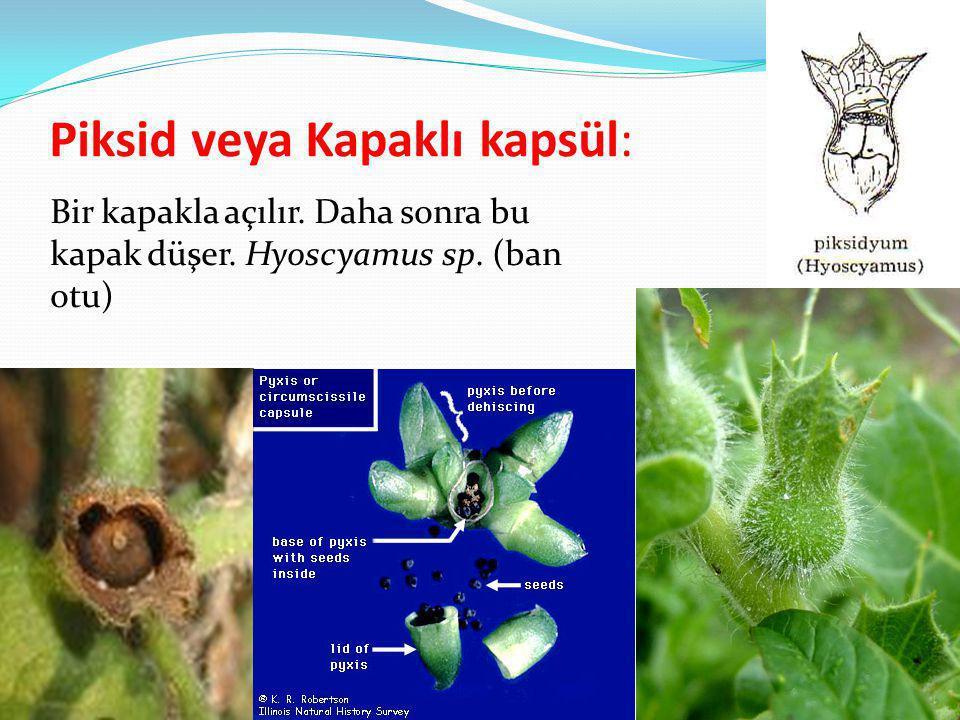 Piksid veya Kapaklı kapsül: Bir kapakla açılır. Daha sonra bu kapak düşer. Hyoscyamus sp. (ban otu)