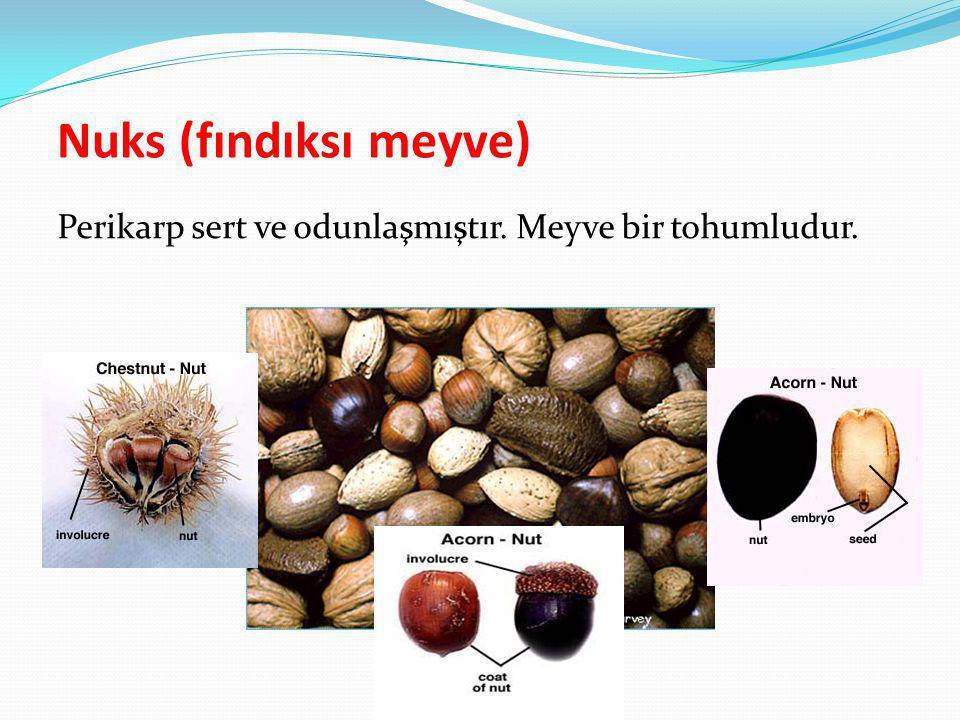 Nuks (fındıksı meyve) Perikarp sert ve odunlaşmıştır. Meyve bir tohumludur.