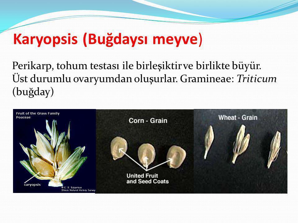 Karyopsis (Buğdaysı meyve) Perikarp, tohum testası ile birleşiktir ve birlikte büyür. Üst durumlu ovaryumdan oluşurlar. Gramineae: Triticum (buğday)