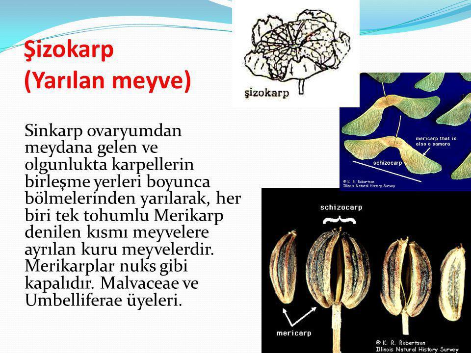 Şizokarp (Yarılan meyve) Sinkarp ovaryumdan meydana gelen ve olgunlukta karpellerin birleşme yerleri boyunca bölmelerinden yarılarak, her biri tek toh